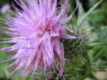 Purpurrote Distel Stockbilder