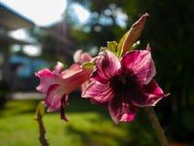Purpurrote Farbewüstenrose oder Adenium Obesum am Sonnenscheintag Stockfoto