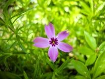 Purpurrote Flammenblume subulata Blumenblüte im Garten Lizenzfreie Stockfotografie