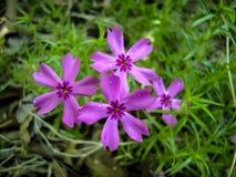 Purpurrote Flammenblume subulata Blumenblüte im Rasen Lizenzfreies Stockbild