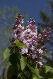 Purpurrote Flieder in der Blüte Lizenzfreie Stockbilder