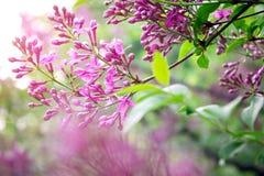 Purpurrote Flieder im Garten lizenzfreie stockbilder