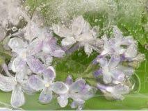 Purpurrote Fliedern im Eis Lizenzfreie Stockbilder