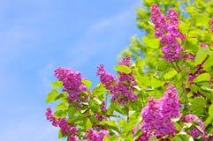 Purpurrote Fliedern und blauer Himmel Stockfotografie