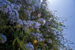 Purpurrote Frühlings-Blumen stockfotografie