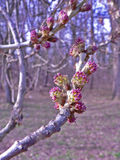 Purpurrote Frühlingsblüten auf einem Waldhintergrund Stockfoto