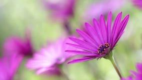 Purpurrote Frühlingsblume stock video