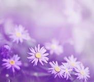 Purpurrote Gänseblümchen Lizenzfreie Stockbilder