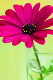 Purpurrote Gänseblümchenblume Lizenzfreies Stockbild