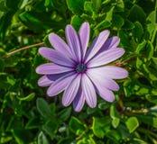 Purpurrote Gänseblümchenblume stockfotos