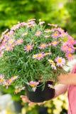 Purpurrote Gänseblümchenblume im Potenziometer Stockfotos