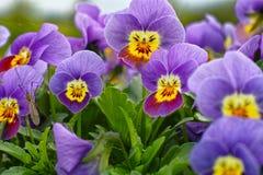 Purpurrote Garten Pansies am Frühling Stockbilder