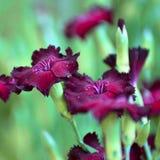 Purpurrote Gartennelken gegen einen gr?nen Laubhintergrund stockfoto