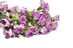 Purpurrote Gartennelkenblume auf weißem Hintergrund Stockfotos