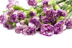 Purpurrote Gartennelkenblume auf weißem Hintergrund Stockfoto