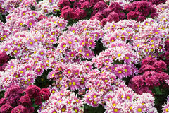 Purpurrote Gartennelkenblumen Lizenzfreies Stockfoto