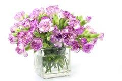 Purpurrote Gartennelkenblume auf weißem Hintergrund Lizenzfreies Stockbild
