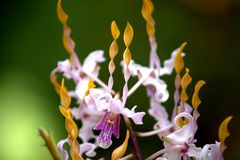 Purpurrote gelbe Orchideenblume Stockfotografie