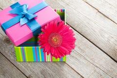 Purpurrote Gerberablume in der Geschenkbox Lizenzfreies Stockfoto