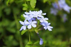 Purpurrote Gesellschafts-Knoblauch-Blumen Lizenzfreie Stockfotografie