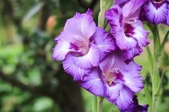 Purpurrote Gladiolen mit drei Schalen, die auf einem grünen Hintergrund im Garten wachsen, stockfotografie