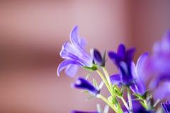 Purpurrote Glockenblumen im Morgensonnenlicht lizenzfreies stockfoto