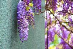 Purpurrote Glyzinie blüht, Bean Tree, chinesische Glyzinie, purpurrote Rebe Stockbilder