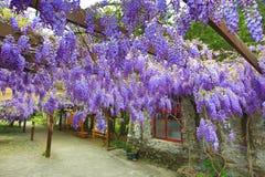 Purpurrote Glyzinie blüht, Bean Tree, chinesische Glyzinie, purpurrote Rebe Lizenzfreie Stockfotos