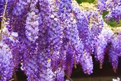 Purpurrote Glyzinie blüht, Bean Tree, chinesische Glyzinie, purpurrote Rebe Stockfotos