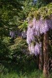 Purpurrote Glyzinie, die über Gartenverzierungen in Sommerwachstum L drapiert Stockfoto