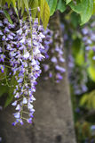 Purpurrote Glyzinie, die über Gartenverzierungen in Sommerwachstum L drapiert Lizenzfreies Stockbild