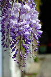 Purpurrote Glyzinieblume im Frühjahr Stockfotos