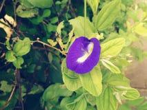 Purpurrote grüne Liebe der Blume Stockfoto