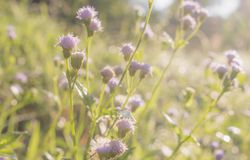 purpurrote Grasblumennahaufnahme in der Wiese, Naturhintergrund lizenzfreie stockfotos