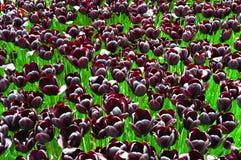 Purpurrote gro?artige Tulpen im Fr?hjahr Knospen, botanisch stockbild