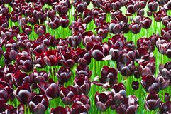 Purpurrote gro?artige Tulpen im Fr?hjahr Knospen, botanisch stockfotos