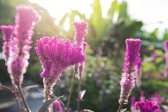 Purpurrote Hahnenkammblume mit Sonnenlicht Lizenzfreies Stockbild
