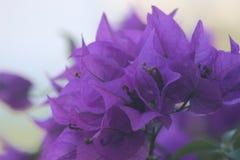 Purpurrote hawaiische Blumen Lizenzfreies Stockfoto