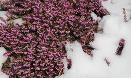 Purpurrote Heide, die durch Schnee blüht Stockfoto