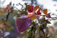 Purpurrote Herbst-Blätter Stockbild