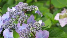 Purpurrote Hortensie blüht Nahaufnahme auf Bush Stockbild