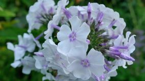 Purpurrote Hortensie blüht Nahaufnahme auf Bush Lizenzfreie Stockbilder