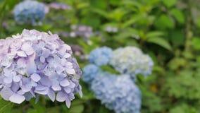 Purpurrote Hortensie im Vordergrund und Blau im Hintergrund Stockfotografie