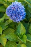 Purpurrote Hortensie, Italien Stockbild