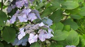 Purpurrote Hortensieanlage im wilden Stockfotografie