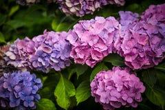 Purpurrote Hortensieblume in einem Garten Stockbilder