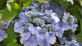 Purpurrote Hortensieblumenblätter Nahaufnahme der gesamten Blume Stockbilder