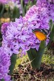 Purpurrote Hyazinthen und schöne Schmetterlinge Stockbilder