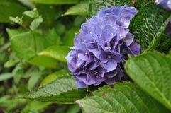 Purpurrote Hydrangea-Blumen Stockfotografie