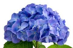 Purpurrote Hydrangeablume Stockfoto